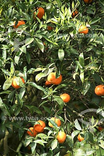 Assunto: Plantação de Laranjas / Local: Águeda - Portugal - Europa / Data: 03/2011