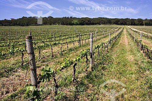 Assunto: Vinhedo para produção de vinhos / Local: Aguada de Cima - Portugal - Europa / Data: 03/2011