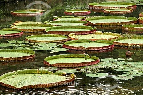 Assunto: Vitória-Régia (Victoria amazonica) no Jardim Botânico / Local: Rio de Janeiro (RJ) - Brasil  / Data: 04/2011