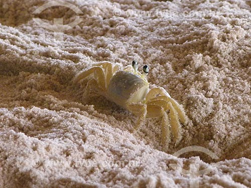 Assunto: Maria Farinha (Ocypode albicans) na praia de Canoa Quebrada / Local: Aracati - Ceará (CE) - Brasil / Data: 03/2011