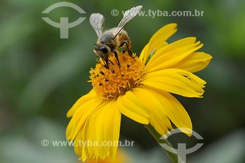 Assunto: Abelha sobre flor amarela / Local: Petrópolis - Rio de Janeiro (RJ) - Brasil / Data: 01/2009