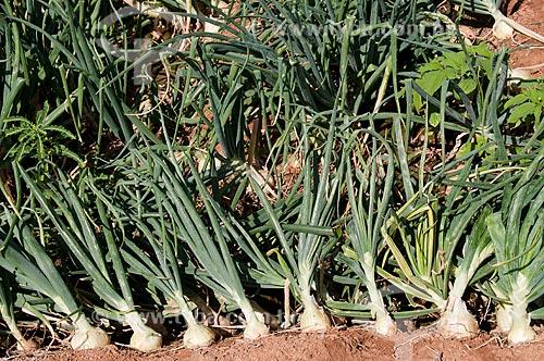 Assunto: Plantação de cebola no sertão pernambucano / Local: Distrito Umãs - Salgueiro - Pernambuco (PE) - Brasil / Data: 08/2010