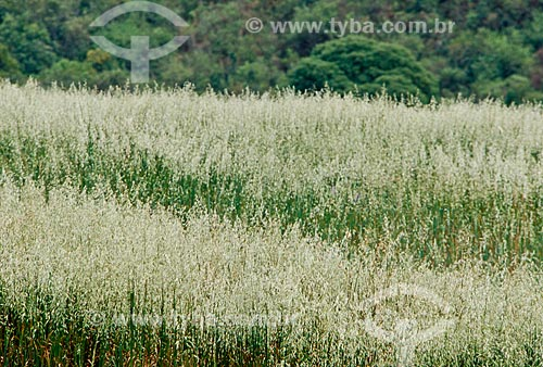 Assunto: Plantação de Aveia / Local: Passo Fundo - Rio Grande do Sul (RS) - Brasil / Data: 05/2011