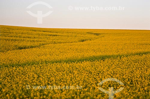 Assunto: Plantação de Canola / Local: Santo Cristo - Rio Grande do Sul (RS) - Brasil / Data: 2010