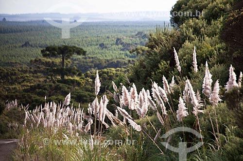Assunto: Campim-dos-pampas e vegetação - vista da Rodovia RS-235 / Local: Rio Grande do Sul (RS) - Brasil / Data: 03/2011