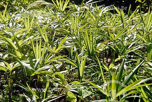 Assunto: Mudas de Palmito / Local: Jardim Botânico - Rio de Janeiro (RJ) - Brasil / Data: 11/2010