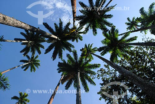 Assunto: Palmeiras imperiais do Jardim Botânico / Local: Jardim Botânico - Rio de Janeiro (RJ) - Brasil / Data: 11/2010