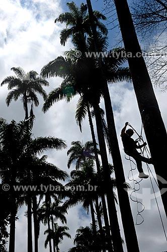 Assunto: Homem escalando Palmeira imperial no Jardim Botânico / Local: Jardim Botânico - Rio de Janeiro (RJ) - Brasil / Data: 11/2010