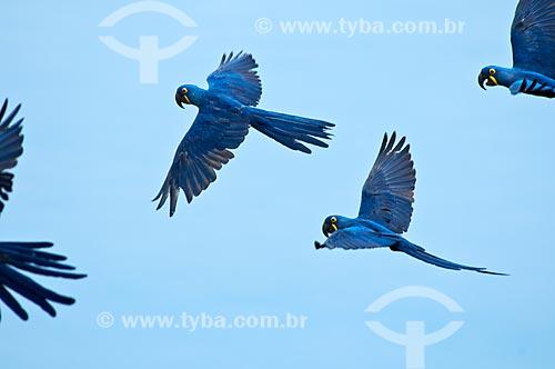 Assunto: Araras-azuis (Anodorhynchus hyacinthinus) voando / Local: Corumbá - Mato Grosso do Sul (MS) - Brasil / Data: 10/2010
