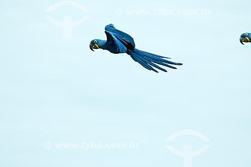 Assunto: Arara-azul (Anodorhynchus hyacinthinus) voando / Local: Corumbá - Mato Grosso do Sul (MS) - Brasil / Data: 10/2010