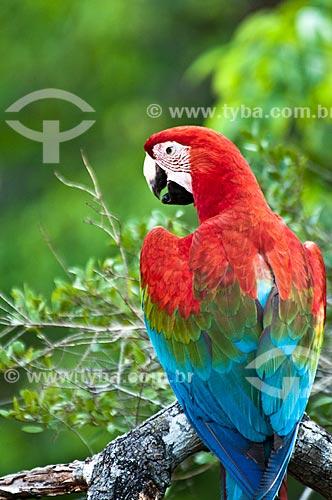 Assunto: Arara-vermelha-grande (Ara chloropterus) / Local: Jardim - Mato Grosso do Sul (MS) - Brasil / Data: 10/2010