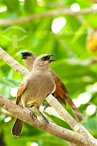 Assunto: Asa-de-telha (Agelaioides badius) - Pantanal Matogrossense / Local: Corumbá - Mato Grosso do Sul (MS) - Brasil / Data: 10/2010