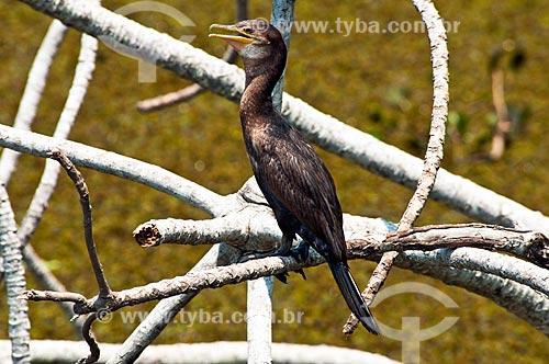 Assunto: Biguá (Phalacrocorax brasilianus) - Pantanal Matogrossense / Local: Corumbá - Mato Grosso do Sul (MS) - Brasil / Data: 10/2010