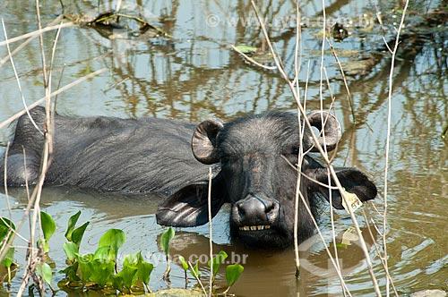 Assunto: Búfalo Dágua ou Búfalo-asiático (Bubalus bubalis) - Pantanal Matogrossense / Local: Corumbá - Mato Grosso do Sul (MS) - Brasil / Data: 10/2010