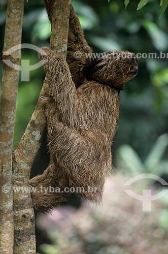 Assunto: Preguiça-de-coleira / Local: Amazonas (AM) - Brasil / Data: 2003