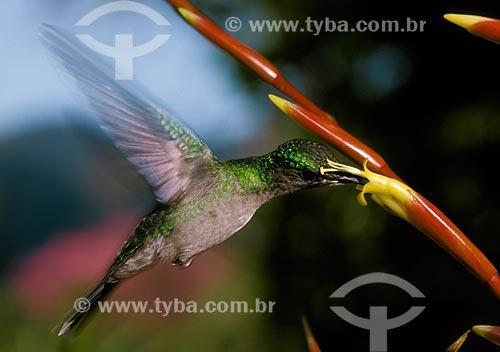 Assunto: Beija-flor polinizando bromélia / Local: Amazonas (AM) - Brasil / Data: 04/2007
