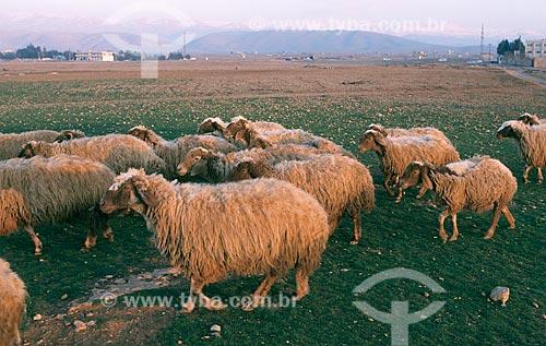Assunto: Criação de ovelhas / Local: Vale do Bekáa - Líbano - Oriente Médio / Data: 2004