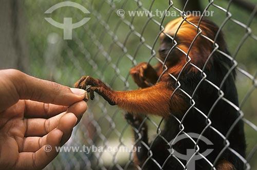 Assunto: Mico-leão-de-cara-dourada / Local: Rio de Janeiro (RJ) -  Brasil / Data: 04/2007