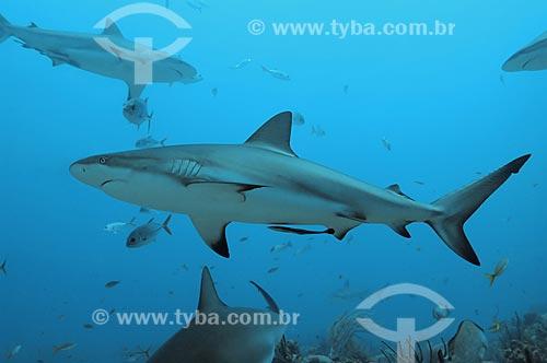 Assunto: Tubarão Cinza (Carcharhinus perezi) no Mar do Caribe / Local: Ilhas de Utila e Roatam - Honduras / Data: 06/2004