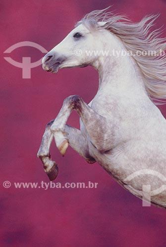 Assunto: Cavalo árabe empinando  / Local: Rio Grande do Sul (RS) - Brasil / Data: 2005