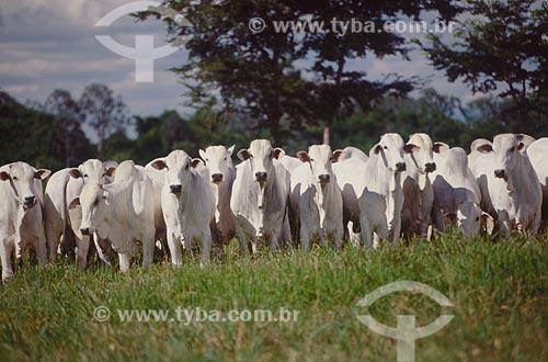 Assunto: Rebanho de gado nelore  / Local: Chapadão do Sul - Mato Grosso do Sul (MS) - Brasil  / Data: 2009