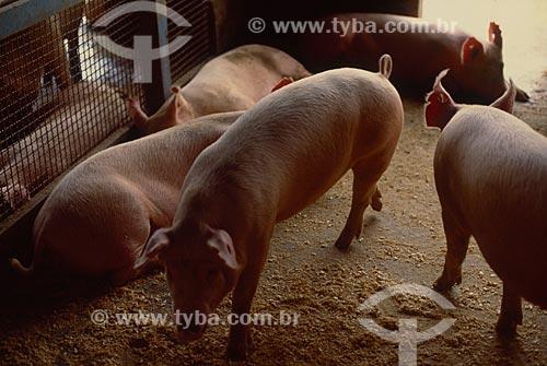 Assunto: Criação de suínos / Local: Chapecó - Santa Catarina (SC) - Brasil / Data: 2003