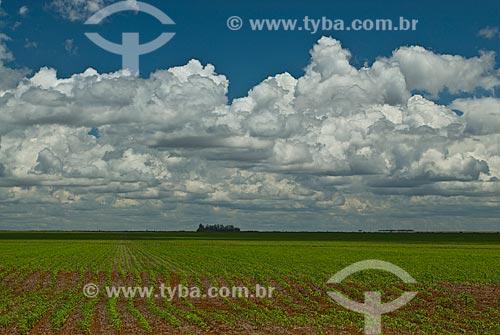 Assunto: Plantação de milho  / Local: Distrito Baús - Costa Rica - Mato Grosso do Sul (MS) - Brasil / Data: 02/2010
