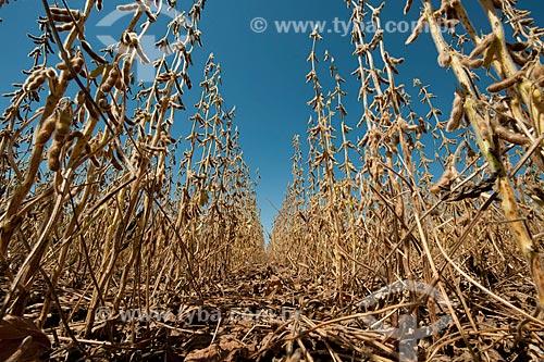 Assunto: Vagens de soja seca prontas para colheita / Local: Não-me-Toque - Rio Grande do Sul (RS) - Brasil / Data: 03/2011