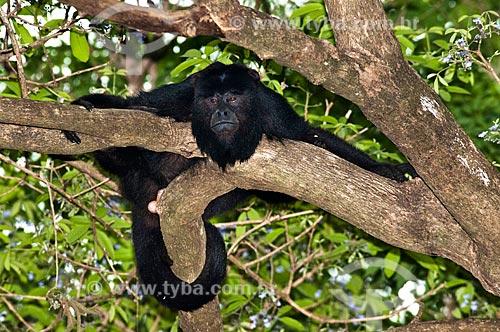 Assunto: Macaco Bugio  (Alouatta guariba)   / Local: Corumbá - Mato Grosso do Sul (MS) - Brasil / Data: 10/2010