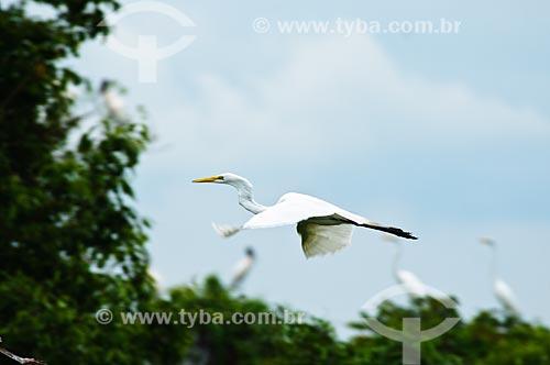 Assunto: Garça-branca-grande (Ardea alba) vonado, também conhecida como Garça-branca / Local: Corumbá - Mato Grosso do Sul (MS) - Brasil / Data: 10/2010