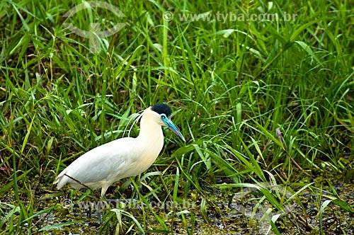 Assunto: Garça-real (Pilherodius pileatus) / Local: Corumbá - Mato Grosso do Sul (MS) - Brasil / Data: 10/2010