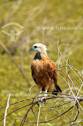 Assunto: Gavião-belo (Busarellus nigricollis) / Local: Corumbá - Mato Grosso do Sul (MS) - Brasil / Data: 10/2010