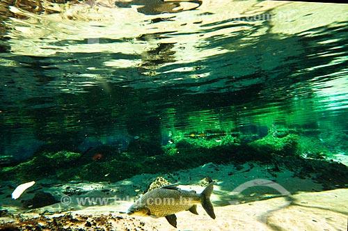 Assunto: Peixe Curimbatá no Rio Olho Dágua, afluente do Rio da Prata / Local: Jardim - Mato Grosso do Sul (MS) - Brasil / Data: 10/2010