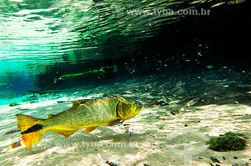 Assunto: Peixe Dourado (Salminus maxillosus) no Rio Olho Dágua, afluente do Rio da Prata / Local: Jardim - Mato Grosso do Sul (MS) - Brasil / Data: 10/2010