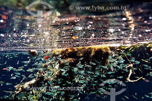 Assunto: Peixes no Rio Olho Dágua, afluente do Rio da Prata / Local: Jardim - Mato Grosso do Sul (MS) - Brasil / Data: 10/2010