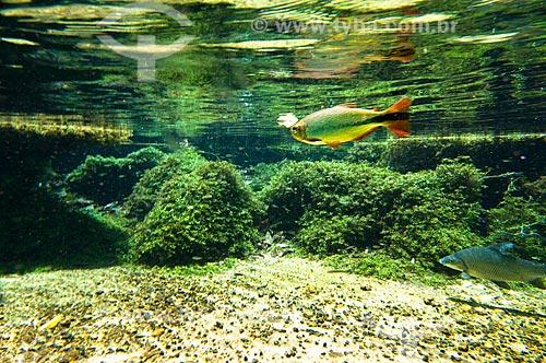Assunto: Peixes Piraputanga e Curimbatá no Rio Olho Dágua, afluente do Rio da Prata / Local: Jardim - Mato Grosso do Sul (MS) - Brasil / Data: 10/2010