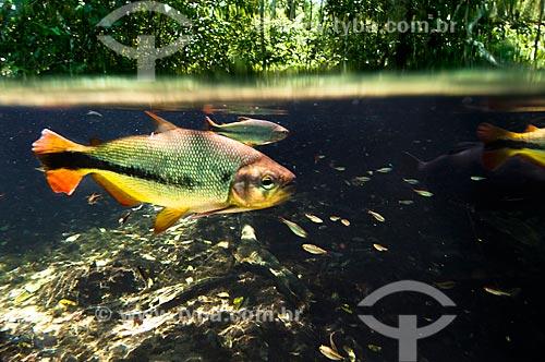 Assunto: Peixe Piraputanga no Rio da Prata / Local: Jardim - Mato Grosso do Sul (MS) - Brasil / Data: 10/2010