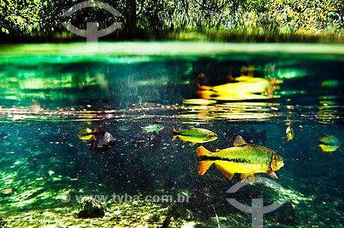 Assunto: Peixes Piraputanga e Pacu no Rio da Prata / Local: Jardim - Mato Grosso do Sul (MS) - Brasil / Data: 10/2010