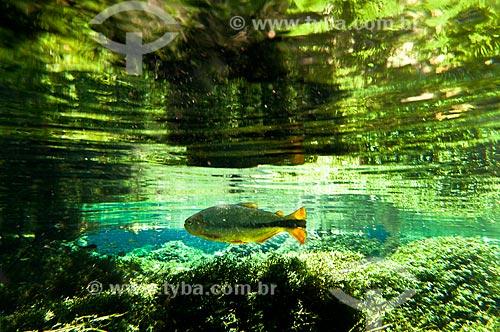 Assunto: Peixe Piraputanga no Rio Formoso / Local: Bonito - Mato Grosso do Sul (MS) - Brasil / Data: 10/2010