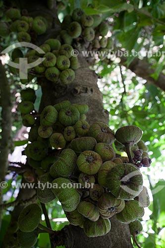 Assunto: Figueira-de-jardim (Ficus auriculata lour) - Inhotim ? Instituto de Arte Contemporânea e Jardim Botânico  / Local: Brumadinho - Minas Gerais (MG) - Brasil / Data: 11/2011