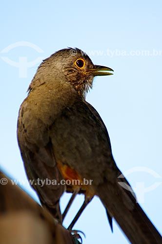 Assunto: Sabiá-laranjeira (Turdus rufiventris) - Ave símbolo do Brasil / Local: Corumbá - Mato Grosso do Sul (MS) - Brasil / Data: 10/2010
