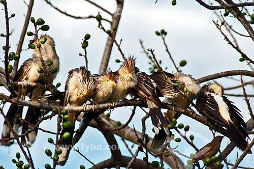 Assunto: Anu-branco (Guira guira) / Local: Corumbá - Mato Grosso do Sul (MS) - Brasil / Data: 10/2010