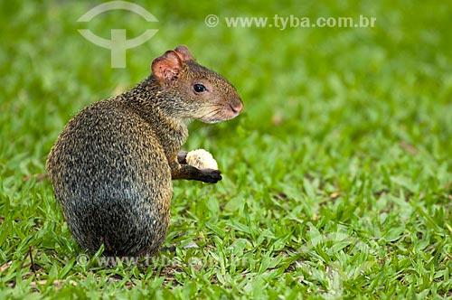 Assunto: Cutia (Dasyprocta aguti) / Local: Bodoquena - Mato Grosso do Sul (MS) - Brasil / Data: 10/2010