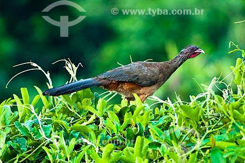 Assunto: Jacupemba (Penelope superciliaris) / Local: Corumbá - Mato Grosso do Sul (MS) - Brasil / Data: 10/2010