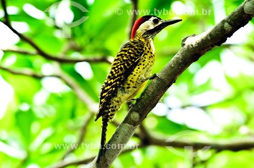 Assunto: Pica-pau-verde-barrado (Colaptes melanochloros) / Local: Corumbá - Mato Grosso do Sul (MS) - Brasil / Data: 10/2010