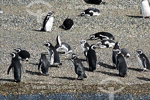 Assunto: Pinguins em praia do Canal de Beagle / Local: Patagônia - Argentina - América do Sul / Data: 02/2010