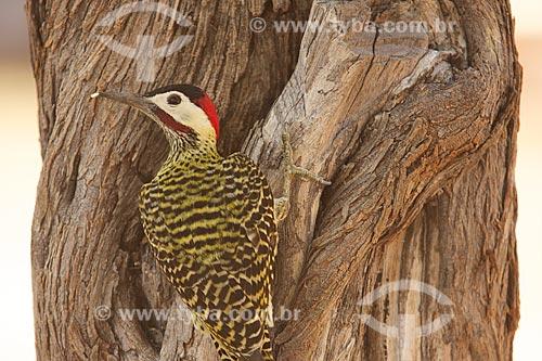 Assunto: Pica-pau comendo inseto na árvore / Local: Dom Inocêncio - Piauí (PI) - Brasil / Data: 10/2009