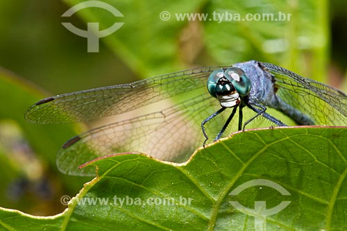 Assunto: Vista de uma libélula  / Local: Teresina - Piauí (PI) - Brasil / Data: 08/2011
