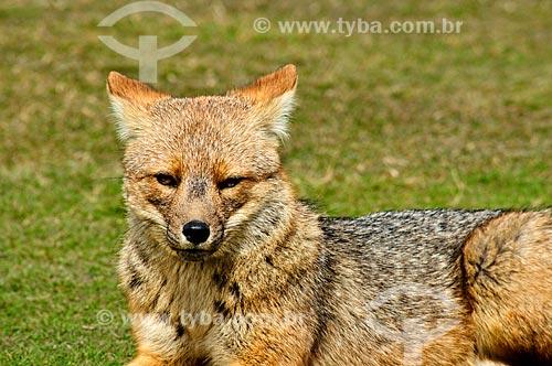 Assunto: Vista de uma raposa cinzenta no Parque Nacional Tierra del Fuego / Local: Ushuaia - Província Terra do Fogo - Argentina - América do Sul / Data: 02/2010