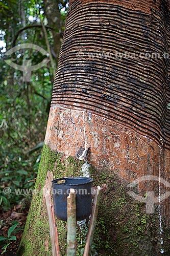 Assunto: Projeto Encauchados Vegetais, extração de látex (conhecido também, como O Leite) - Reserva Extrativista Cazumbá / Local: Sena Madureira - Acre (AC) - Brasil / Data: 11/2011